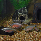 Dority's Rainbowfish (Group of 5) (click for more detail)