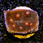 LiveAquaria® Raspberry Eye Robokaki Chalice Coral (click for more detail)