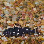 Synodontis Angelicus Catfish (click for more detail)