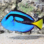 Blue Tang  (click for more detail)
