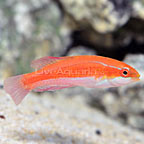 Red Tail Flasher Wrasse Female (click for more detail)