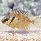 Barred Rabbitfish (click for more detail)