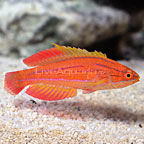 Red Tail Flasher Wrasse Terminal Phase Male  (click for more detail)
