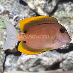 Tomini Bristletooth Tang (click for more detail)
