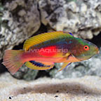 Cook Islands Scott's Velvet Fairy Wrasse Terminal Phase Male (click for more detail)
