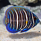 Blueface Angelfish Juvenile (click for more detail)