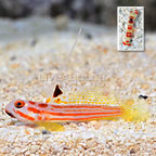 Yasha Goby with Red Banded Pistol Shrimp (click for more detail)