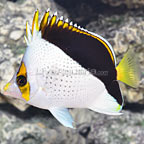 Tinker Butterflyfish (click for more detail)