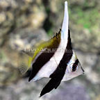 Black and White Heniochus Butterflyfish  (click for more detail)