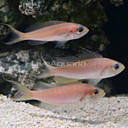 Curacao Deepwater Red Barbier Basslet (Trio) (click for more detail)