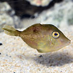 Caribbean Pygmy Filefish (click for more detail)