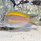 Bellus Angelfish Male (click for more detail)