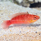 African KwaZulu Fairy Wrasse Female (click for more detail)