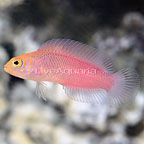 Australian Multicolor Dottyback (click for more detail)