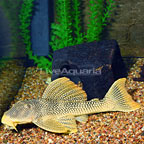 Golden (L-014) Plecostomus (click for more detail)