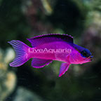 Caribbean Black Cap Basslet  (click for more detail)
