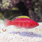 Yellow Fin Fairy Wrasse Terminal Phase Male (click for more detail)