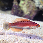 Whip Fin Fairy Wrasse Terminal Phase Male (click for more detail)