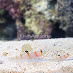 Orange Stripe Prawn Goby (Bonded Pair) (click for more detail)