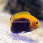 ORA® Captive-Bred Flameback Angelfish (click for more detail)