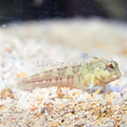 Molly Miller Blenny (click for more detail)