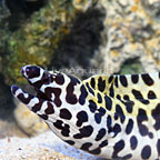 Tessalata Eel  (click for more detail)