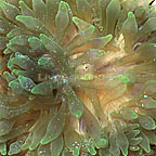 Bubble Tip Anemone Neon Green (click for more detail)