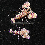 Hawaiian Harlequin Shrimp (Harvested Pair) (click for more detail)
