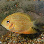 Red-spotted Gold Severum Cichlid (click for more detail)