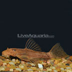 Red Bristlenose Plecostomus (click for more detail)