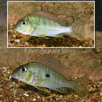 Geophagus Altifrons Cichlid (Pair) (click for more detail)
