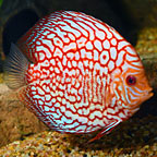 Dynamic Red Pigeon Blood Discus (click for more detail)