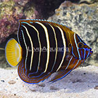 Chrysurus Angelfish Adult (click for more detail)