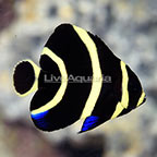 French Angelfish Juvenile (click for more detail)