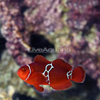 ORA® Captive-Bred Lightning Maroon Clownfish (click for more detail)