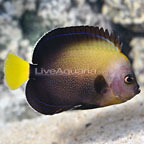 Bluespotted Angelfish (click for more detail)