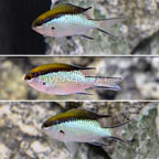 Barrier Reef Chromis (Trio) (click for more detail)