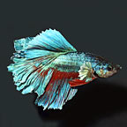 Rosetail Halfmoon Betta, Male (click for more detail)