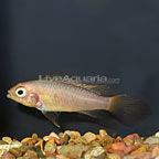 Fire Red Agassizi Cichlid (click for more detail)