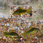 Neon Orange Laser Cory Catfish (Group of 3) (click for more detail)