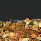 Red Bushy Nose Plecostomus (click for more detail)