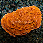 Aussie Scrolling Montipora Coral  (click for more detail)
