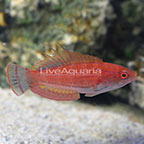 Carpenter's Flasher Wrasse Terminal Phase Male (click for more detail)