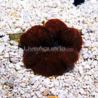 Mini Carpet Anemone Red (click for more detail)