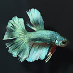 Rosetail Halfmoon Betta, Male [Blemish] (click for more detail)