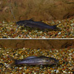 Jumper Catfish (Pair) (click for more detail)