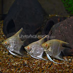 Albino Pearlscale Angelfish (Group of 3) (click for more detail)