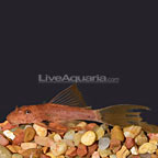 Red Longfin Brislenose Plecostomus (click for more detail)
