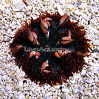 Caribbean Rock Flower Anemone Red/Multicolor (click for more detail)