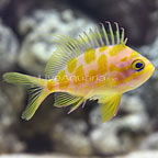 Blotched Anthias (click for more detail)